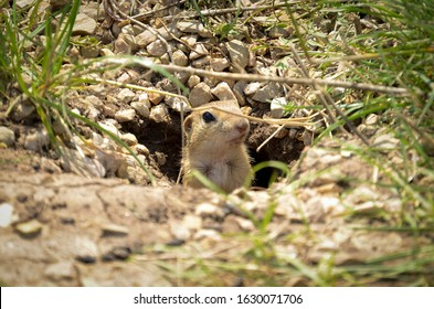 The gopher stands on its hind legs on the ground and looks ahead with interest. Gopher sitting in the summer grass. Animals in the wild nature