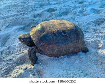 Gopher tortoise crawling on Florida beach.