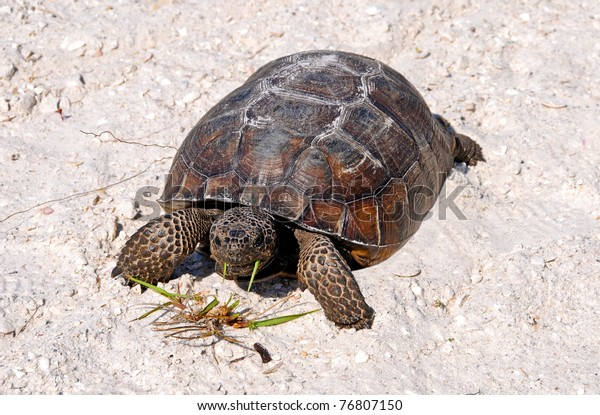 Gopher tortoise eating grass on the beach