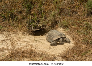 A Gopher Tortoise emerging from its burrow
