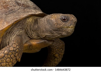 Gopher tortoise (Gopherus polyphemus) is endemic to the United States