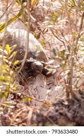 Gopher tortoise Gopherus polyphemus moves through soft sand in Naples, Florida