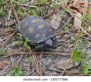 Gopher Tortoise Waiting for Lunch