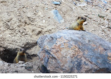 Gophers. Animals Of The Pamirs