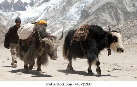 GORAK SHEP, NEPAL, 27th APRIL 2016 - Yaks and Nepalese people near Gorak shep village on the way to Everest base camp - Nepal