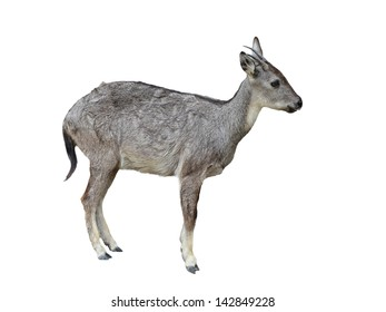 goral isolated on white background