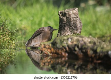 Goraz, the nocturnal heron aka Garça Noturna, Ardeidae, Nycticorax. Garca
