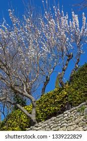 Gordes, Provence, Luberon, almond blossom, almond tree in springtime.