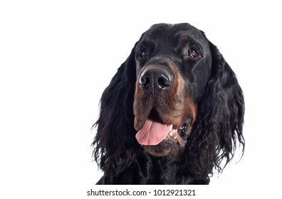 gordon setter dog on white background