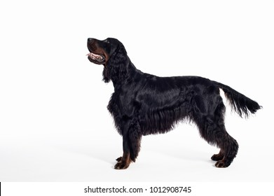 gordon setter dog portrait