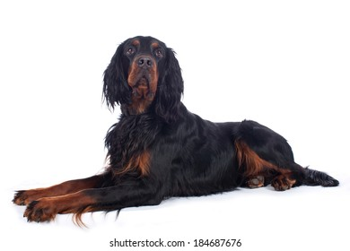 Gordon setter isolated on white