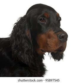 Gordon Setter puppy, 6 months old, in front of white background