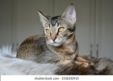 Gorgeous Arabian Mau Abyssinian mix kitten with amazing green eyes posing on a fur blanket