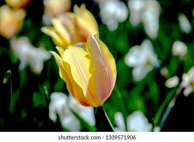 Gorgeous back-lighted yellow Spring tulip among white tulips, just starting to open up and bloom
