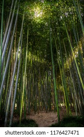Gorgeous bamboo garden with light creeping through the branches and a pathway.