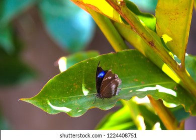Gorgeous beautiful brown gray white butterfly sits on a large green leaf of a tropical plant in the shade of bright sunlight. Danaus genutia and Striped Tiger at butterflys plantation in Thailand.
