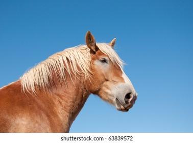 Gorgeous Belgian Draft horse against blue skies