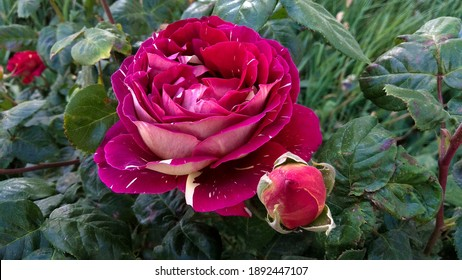 Gorgeous, a bicolor, striped, reddish magenta-creamy white rose with a bud against the damaged, glossy, dark green leaves in spring. May striped, two-color, red-white rose flower.