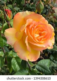 Gorgeous big orange rose bloom