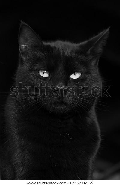 gorgeous-black-cat-green-eyes-600w-19352