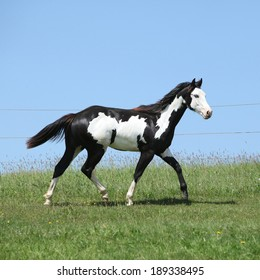 Gorgeous black and white stallion of paint horse running on spring pasturage