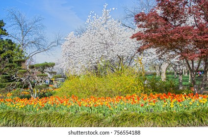 Gorgeous blend of tulips, other flowers and blooming Cherry trees in a Dallas Texas public park