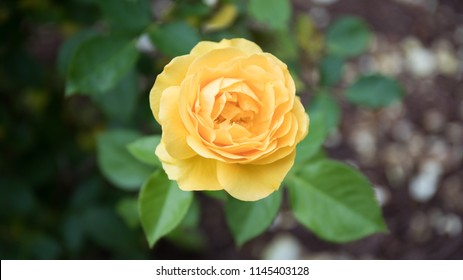 A gorgeous bokeh shot of a bright yellow rose with green leafy background.