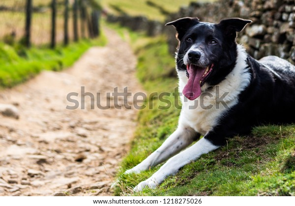 Gorgeous Border Collie Cross Labrador Working Stock Photo