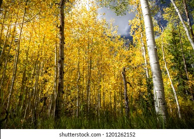 Gorgeous bright autumn forest scene with pine trees, aspens, and birch trees in the fall.