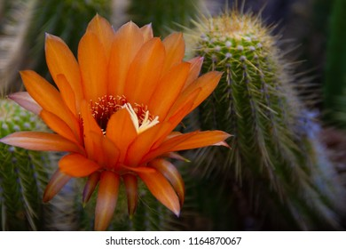 Gorgeous bright orange flower blooming on a cactus in a cactus garden.