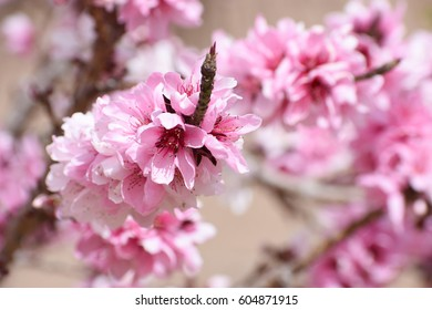 gorgeous bright pink and white blossoms on a bonfire peach tree