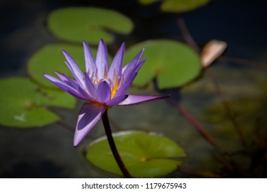 Gorgeous bright purple water lily in a pond with lily pads.