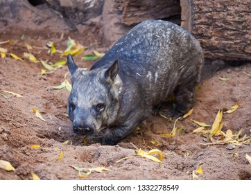 Gorgeous Burly Southern Hairy-Nosed Wombat burrows the sand in surrounded of yellow leaves.