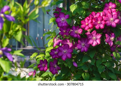 gorgeous bush clematis with large bright pink flowers