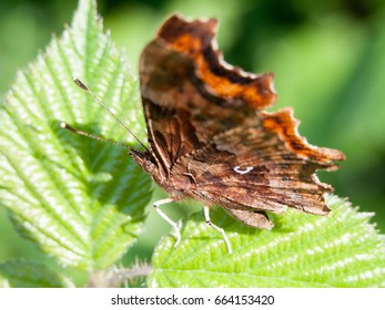 A gorgeous butterfly resting on a leaf in the sun with antenna and wings