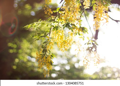 Gorgeous Cassia Fistula or Golden Rain Tree surrounded by natural and atmospheric gold sunlight that gently de-focuses the scene.