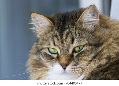 Gorgeous cat face, brown and white tabby female cat of siberian breed with green eyes