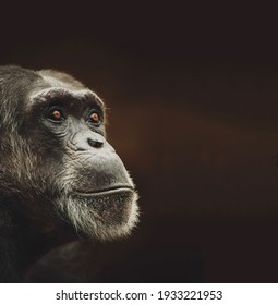 Gorgeous chimpanzee with yellow eyes looks forward with interest close-up