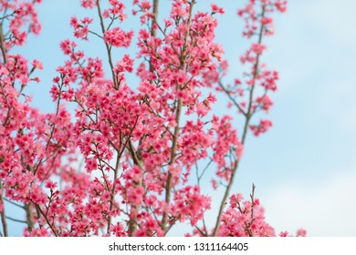Gorgeous Chinese red cherry blossom