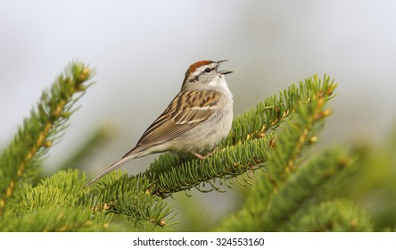 A gorgeous chipping sparrow sings away in a fir tree in early May as the spring songbird migration begins in North America.