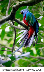 Gorgeous close up of a colorful, tropical Quetzal bird with its tail feathers fluffed and looking with attention and interest.