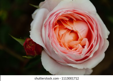 Gorgeous close-up of a blooming pink and creamsicle rose with small rosebud next to it in a garden.