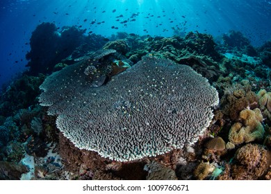 A gorgeous coral reef thrives near the island of Alor in Indonesia. This tropical Pacific region is home to an extraordinary amount of marine biodiversity.