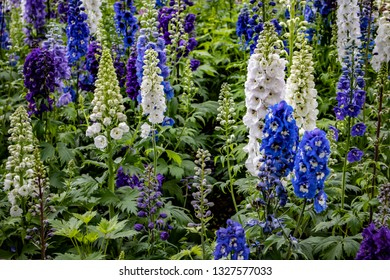 Gorgeous Cottage Garden Filled with Blue, White, and Purple Delphinium Flowers outside of Amsterdam, Netherlands