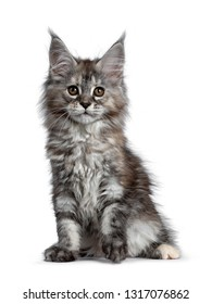 Gorgeous cute Maine Coon cat kitten sitting up leaning to the side. Looking at camera with brown eyes. Isolated on white background. One paw lifted.