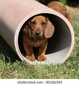 Gorgeous Dachshund puppy moving in the garden