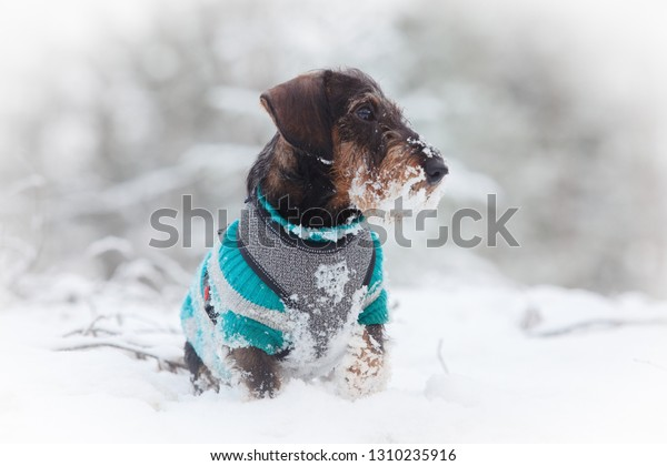 Gorgeous dachshund puppy posing in the middle of snow