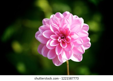 Gorgeous dalia flower on a dark background