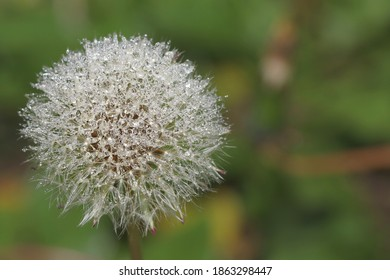gorgeous-dandelion-covered-tiny-dew-260n