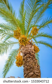 a gorgeous date palm with orange dates stands in beautiful weather before a blue sky